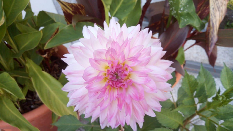 Blumen Lang